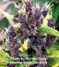 E-m Seeds Autoflowers