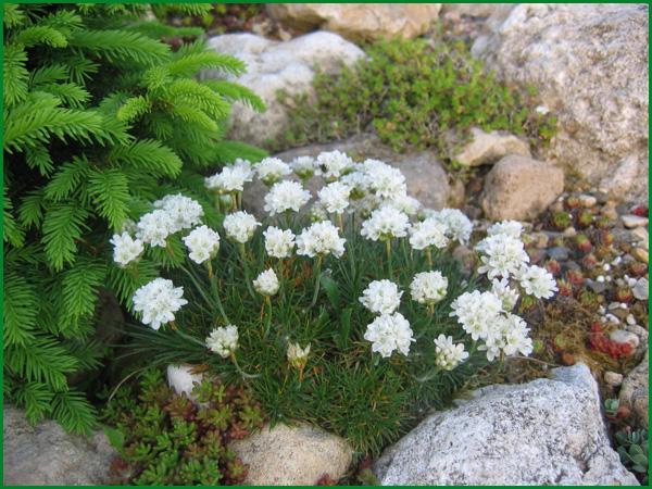 Армерия приморская белая. Армерия: посадка и уход, выращивание. Особенности посадки армерии