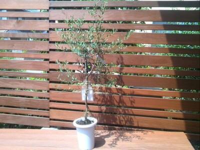 オリーブの木とローズマリー