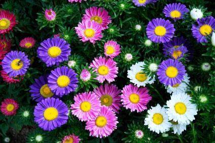Ungkapkan Rasa Kasih Sayangmu Dengan Memberikan 3 Bunga Berikut Ini - Bunga Aster