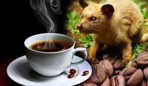 4 Cara Membedakan Kopi Luwak Palsu - kopi luwak