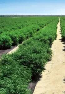 hemp plants cbd