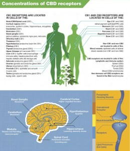 CBD Receptors in the human body