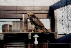The hawk that pursued some pigeons right into the cage. It killed two of Jimmy's favorites; but he ended up feeding it, and releasing it after two days of studying and photographing it.