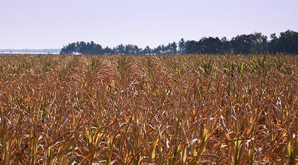 Iowa corn field hit by drought
