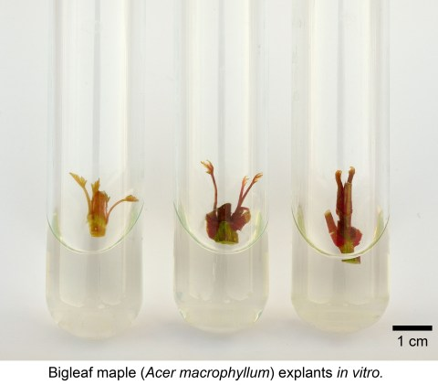 maple-in-vitro