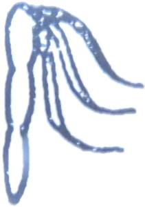 Figura 1: Il simbolo della frusta presente sui conii approntati dal Ghirardini.