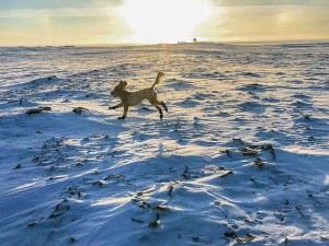 0104Trevor Norris.jpg Trevor Norris Cambridge Bay Harper the goldendoodle having a run in Cambridge Bay last week.