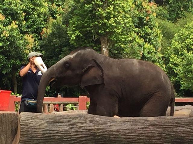 Cuidador dando un biberón gigante a un bebé elefante