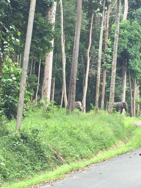 Elefantes en libertad a lo lejos entre arboles