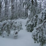 Young pine trees under the weight of wet snow.