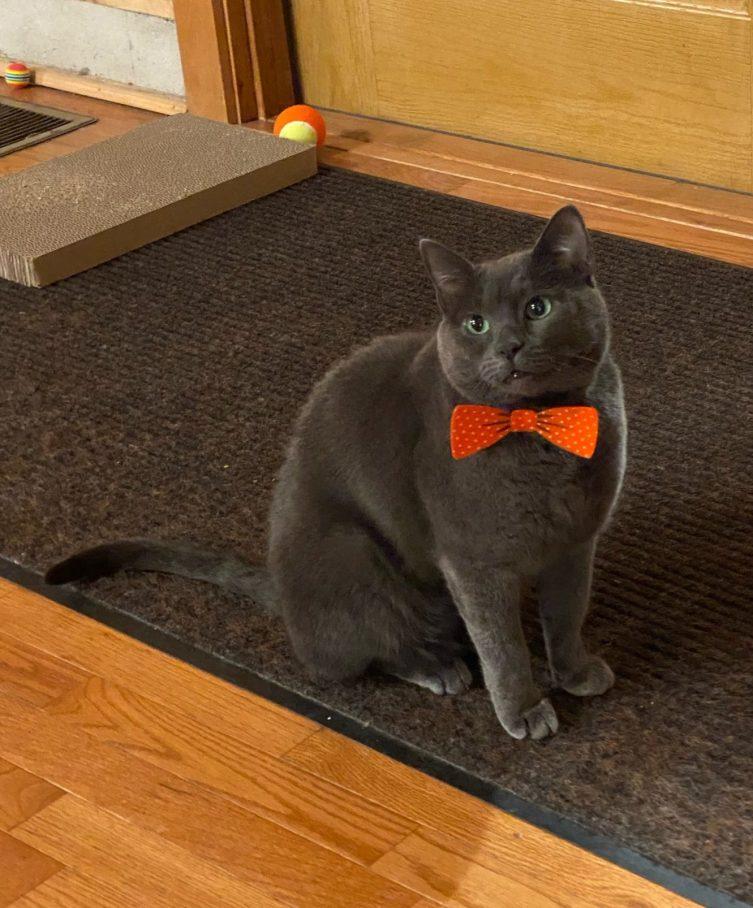 Cat in a bowtie