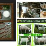 paket kambing aqiqah murah di ciputat tangerang selatan
