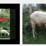 paket kambing aqiqah di daerah balaraja tangerang