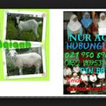 layanan jasa kambing aqiqah di depok