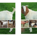 harga kambing aqiqah murah daerah depok