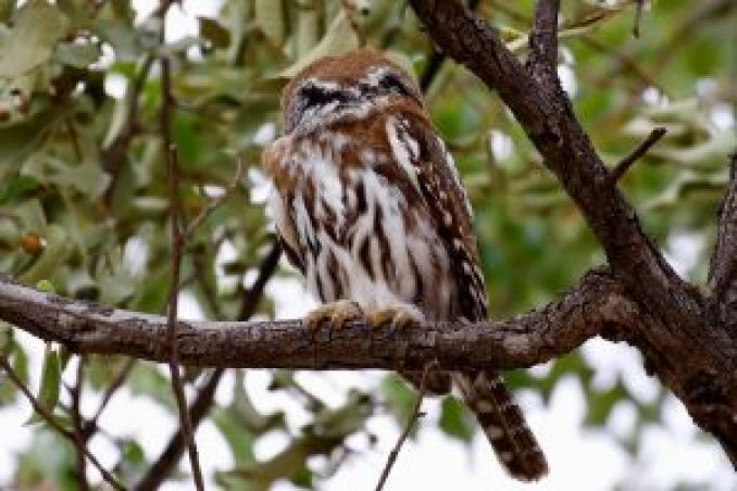 Glaucidium castanopterum