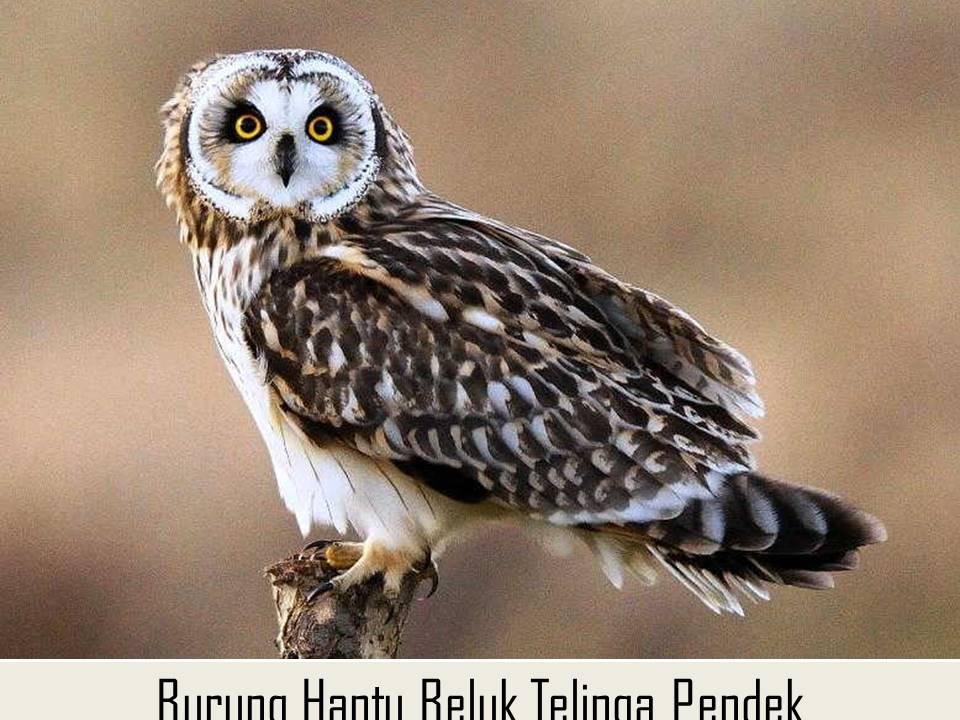 Burung Hantu Beluk Telinga Pendek