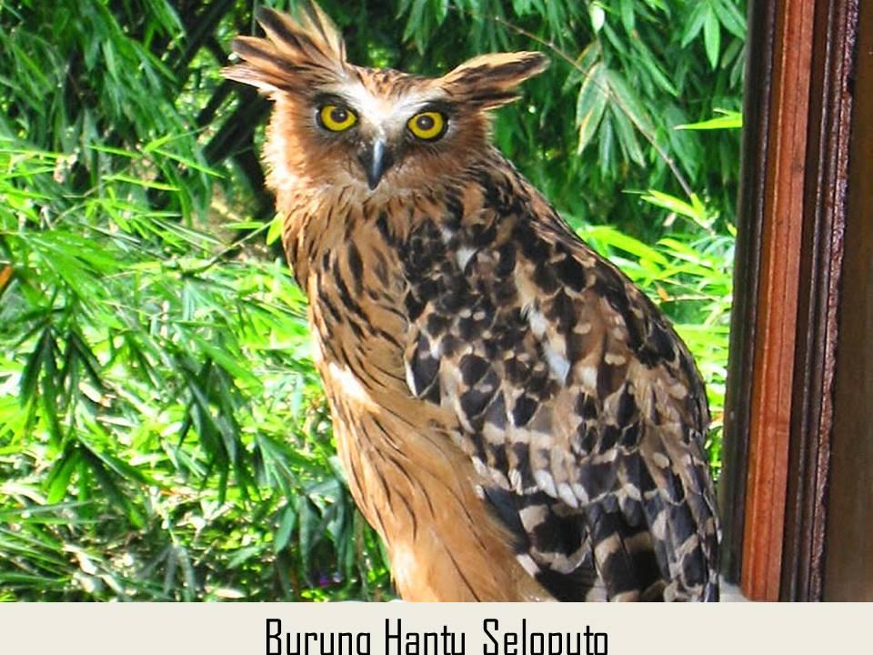 Burung Hantu Seloputo