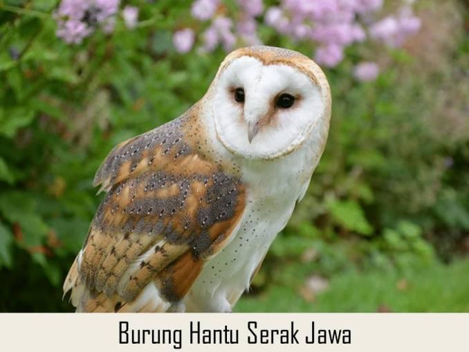 Burung Hantu Serak Jawa