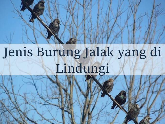 Burung Jalak yang Dilindungi