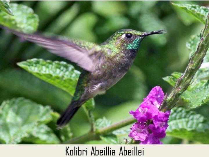 Kolibri Abeillia Abeillei