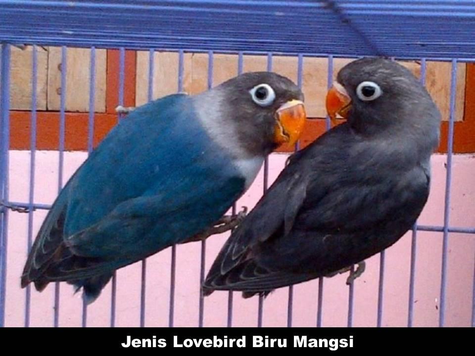 Jenis Lovebird Biru Mangsi