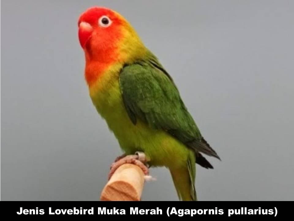 Jenis Lovebird Muka Merah (Agapornis Pullarius)