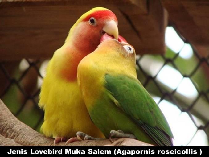 Jenis Lovebird Muka Salem (Agapornis Roseicollis )