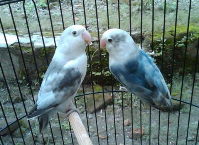 Jenis Lovebird Slaty