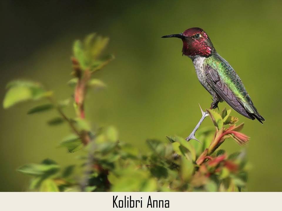 Kolibri Anna