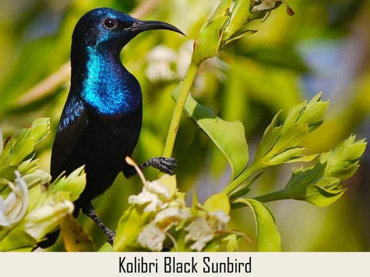 Kolibri Black Sunbird