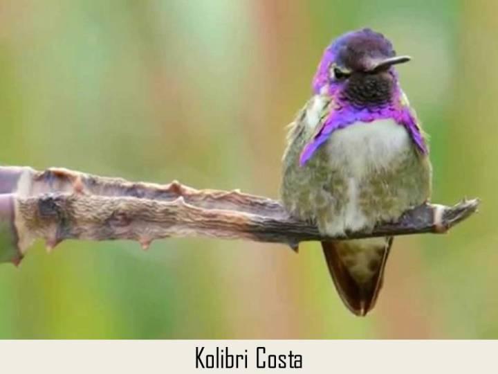 Kolibri Costa