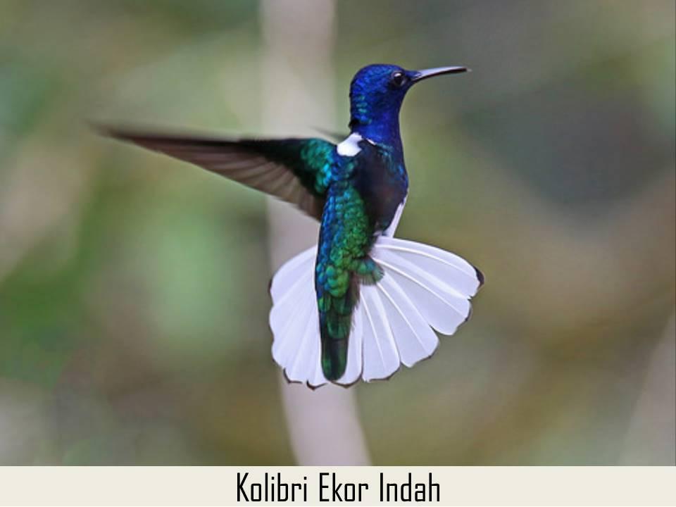 Kolibri Ekor Indah