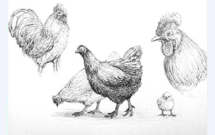 Gambar Ayam dan Induknya