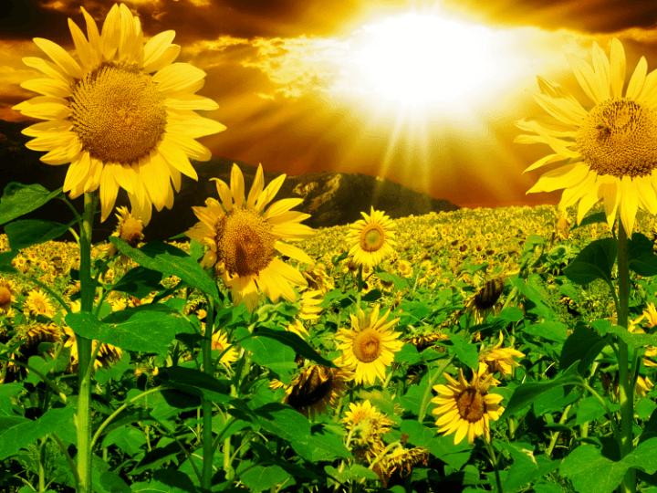 lukisan-bunga matahari yang indah