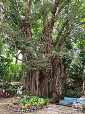 Old Enchanted Balete Tree Siquijor