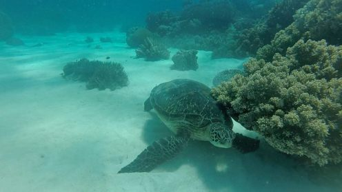 Snorkel Apo Island