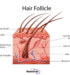 7 facts about the integumentary system every nursing student should know hair follicle [ 1024 x 768 Pixel ]