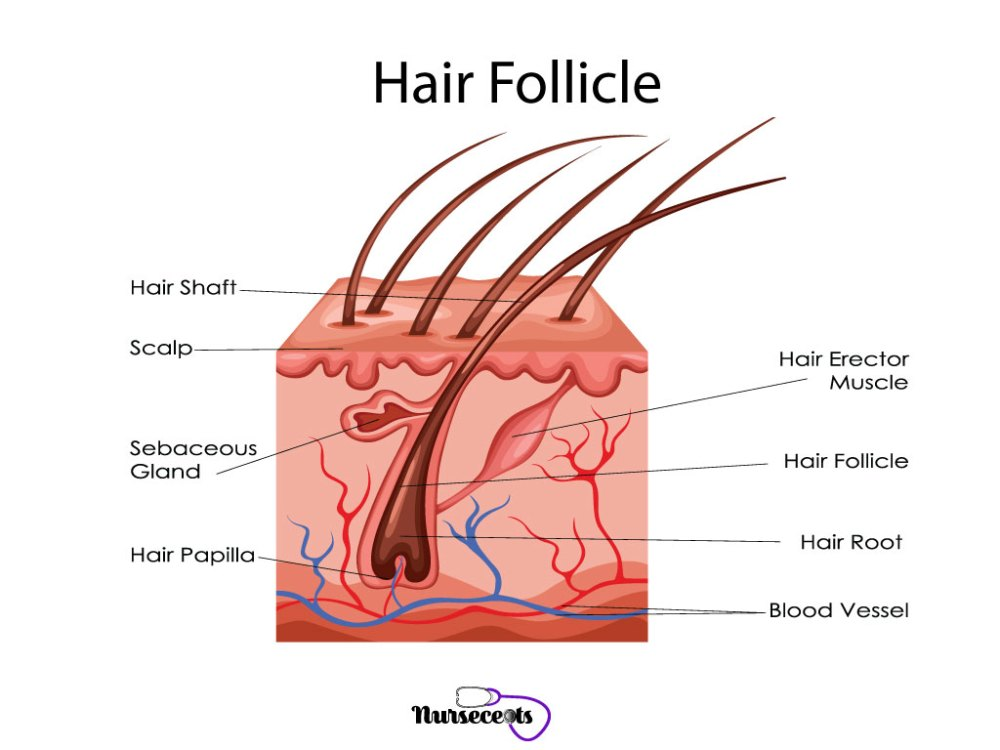 medium resolution of 7 facts about the integumentary system every nursing student should know hair follicle