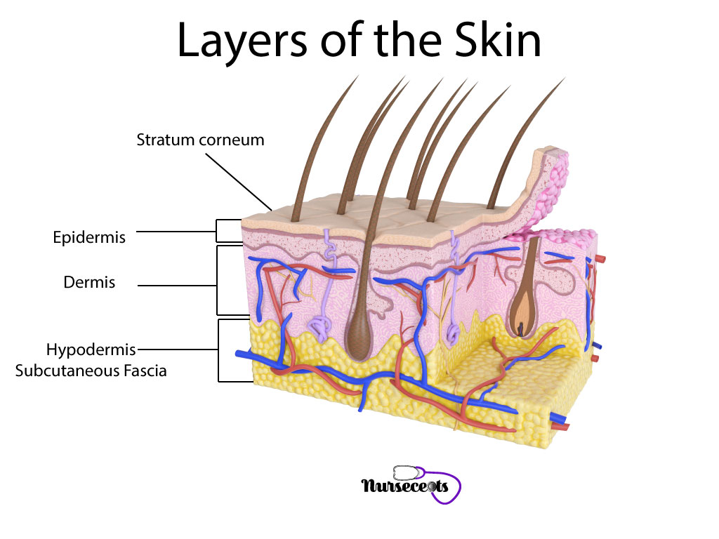hight resolution of 7 facts about the integumentary system every nursing student should know layers of the skin