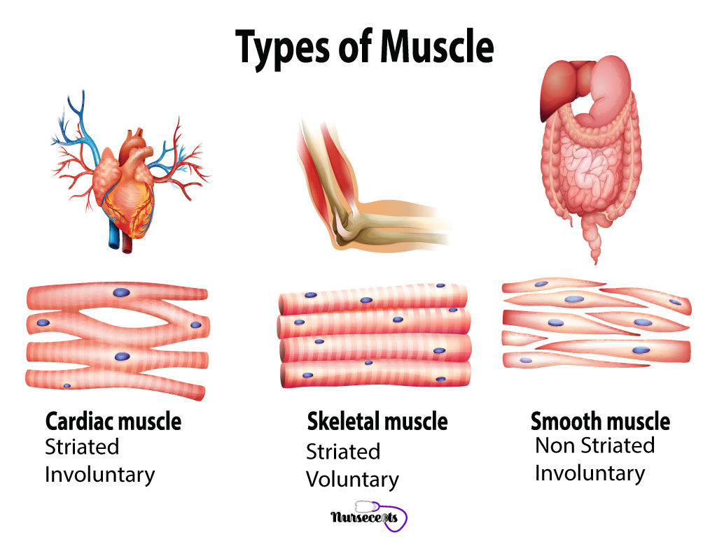 7 Facts About The Muscular System Every Nursing Student