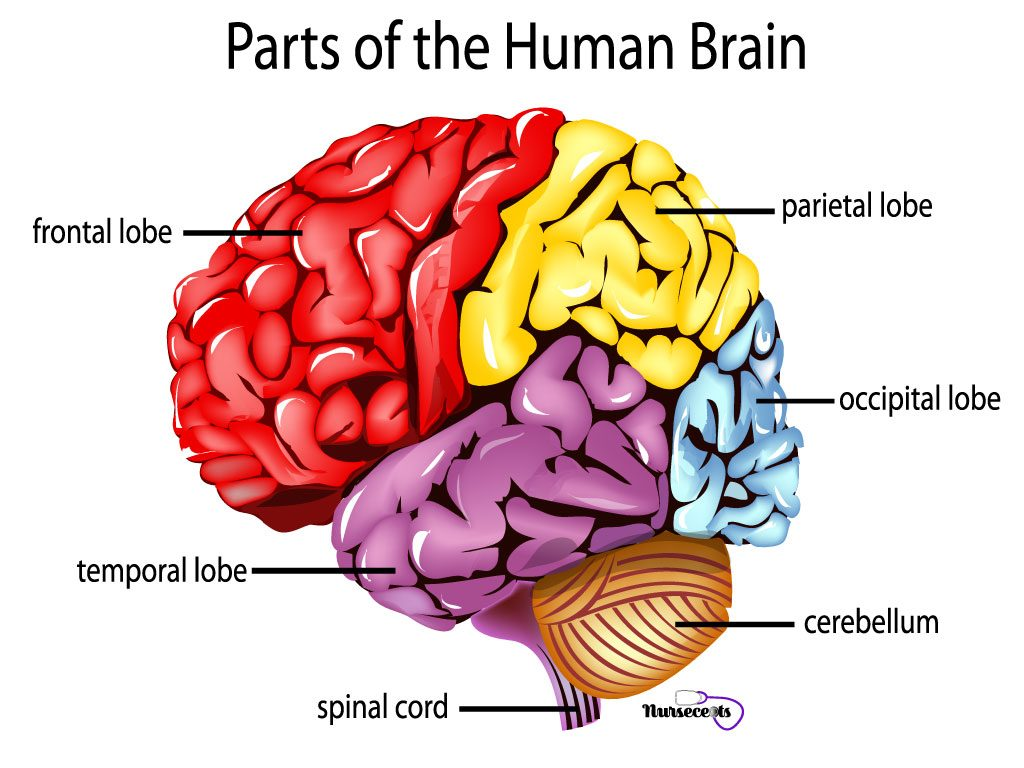 Medical Terminology Of The Nervous System
