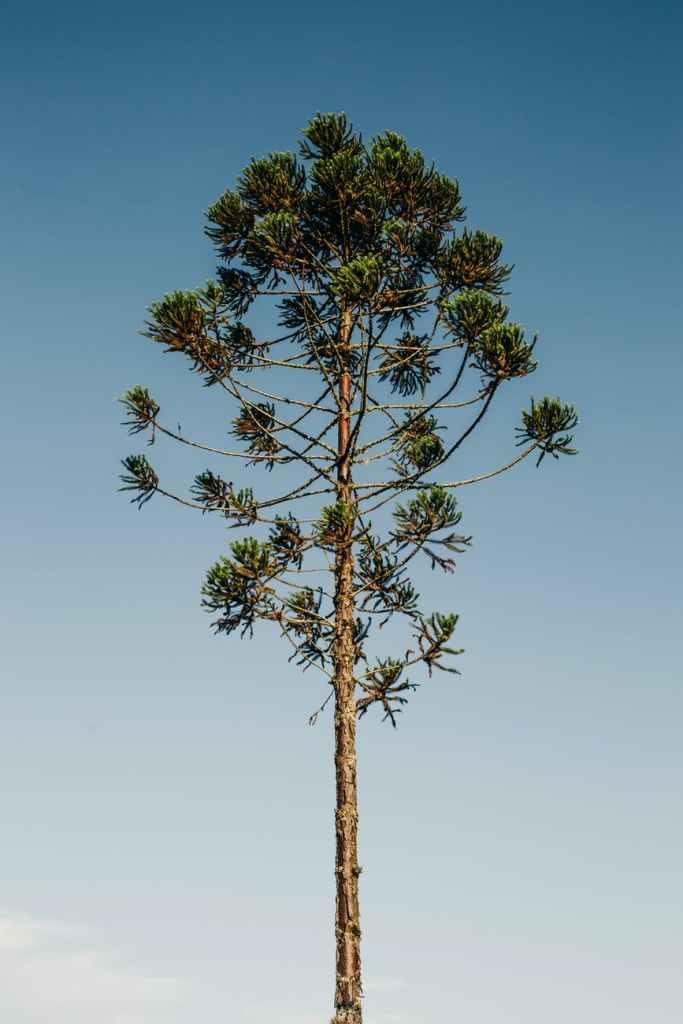 lush araucaria tree on blue sky background