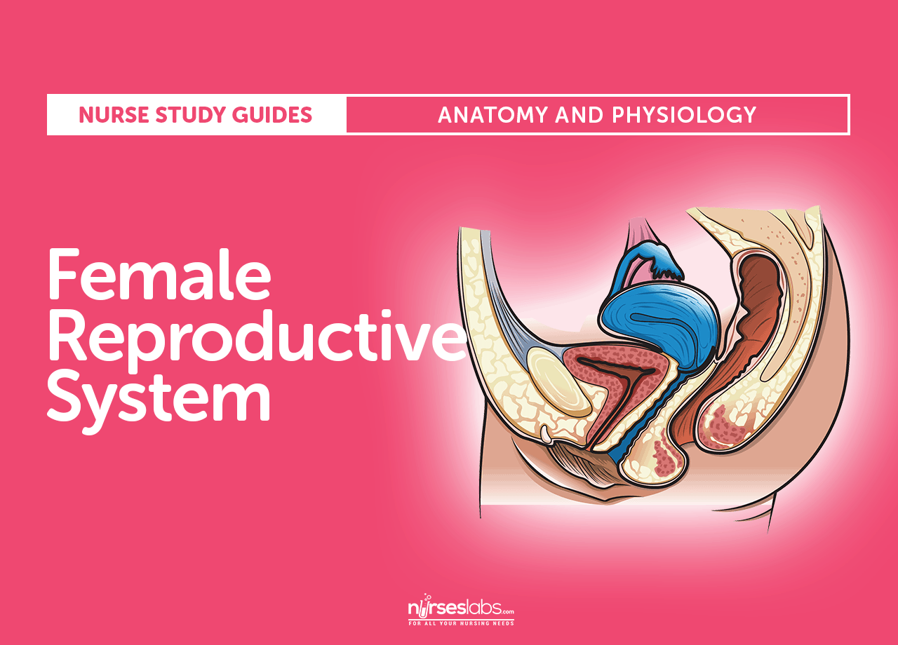 Female Reproductive System Anatomy And Physiology