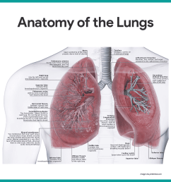 anatomy of the lungs respiratory system anatomy and physiology [ 1080 x 1080 Pixel ]