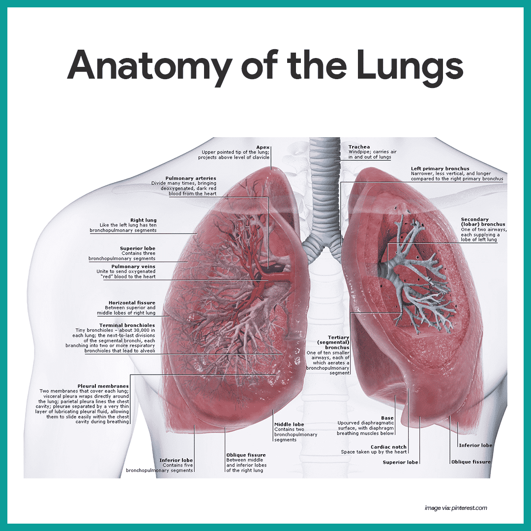 hight resolution of anatomy of the lungs respiratory system anatomy and physiology