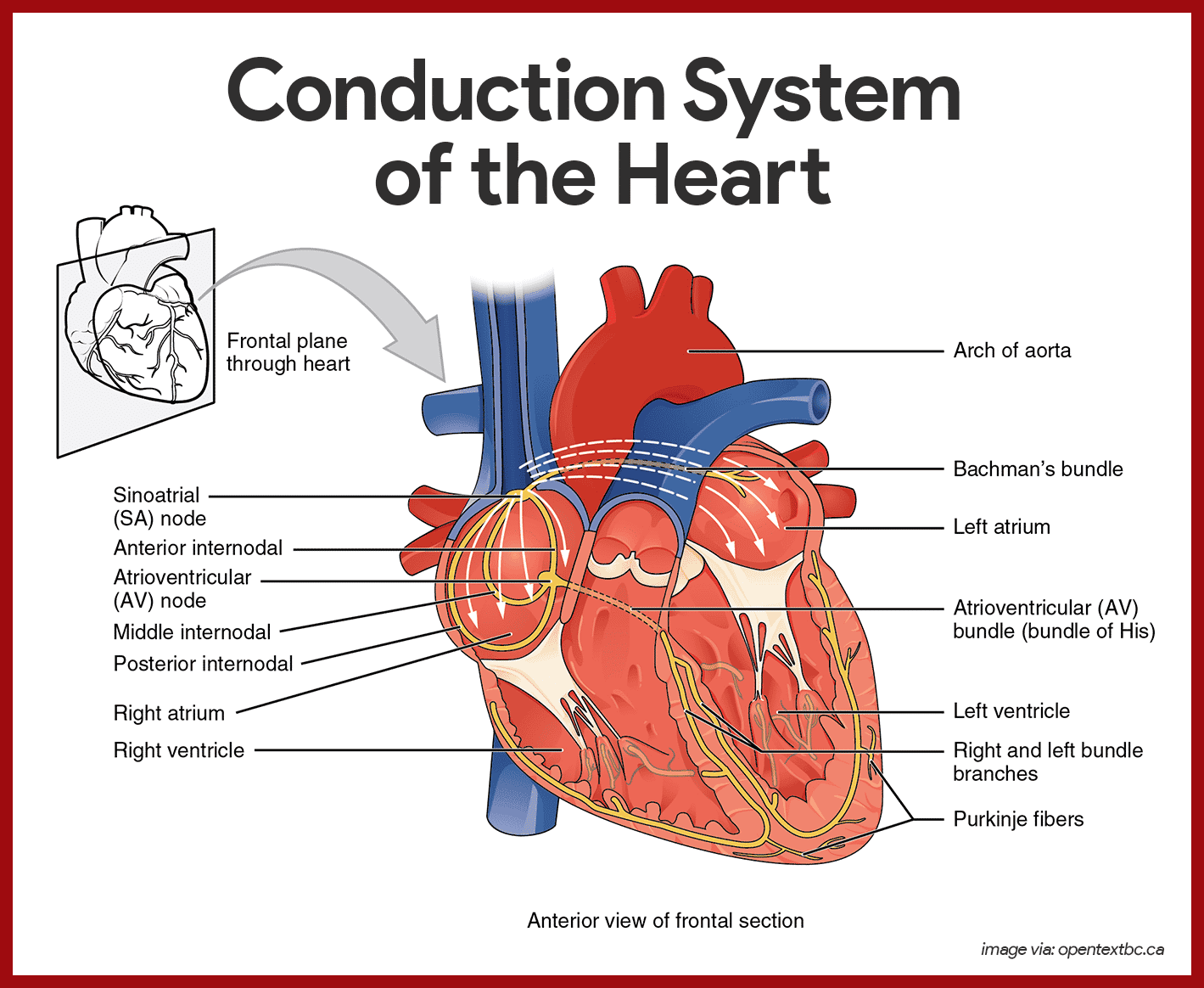 Cardiovascular System Anatomy And Physiology Study Guide
