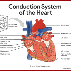 Heart Diagram Outside 2002 Nissan Sentra Fuse Box Cardiovascular System Anatomy And Physiology Study Guide