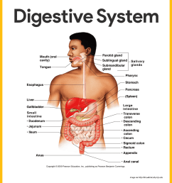 anatomy of the digestive system [ 1080 x 1196 Pixel ]